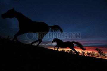 Neuenhagen  Silhouette: Pferde bei Morgendaemmerung im Galopp auf einer Koppel