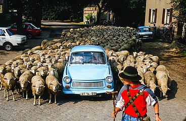 Trabbi inmitten einer Schafherde