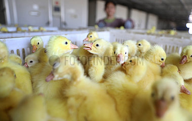 CHINA-LIAONING-GOOSE- BREEDING INDUSTRY (CN)