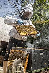 Imker kontrolliert sein Bienenvolk