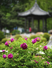 CHINA-JILIN-CHANGCHUN-PEONY-BLOSSOM (CN)