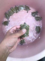 CAMBODIA-PHNOM PENH-ROYAL TURTLES-NEWLY-HATCHED