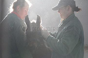 Gestuet Goerlsdorf  Pferdewirte legen einem Fohlen in einer Box ein Halfter an