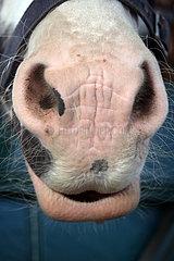 Gestuet Goerlsdorf  Tasthaare an Maul und Nuestern eines Pferdes