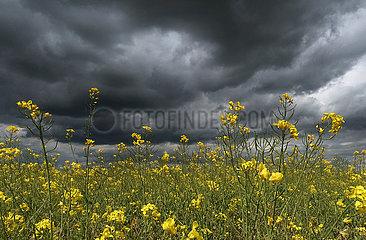 Altlandsberg  Deutschland  Gewitterwolken ueber einem Rapsfeld