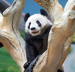 CHINA-LIAONING-ANSHAN-PANDA-NEW HOME (CN) CHINA-LIAONING-ANSHAN-PANDA-NEW HOME (CN)