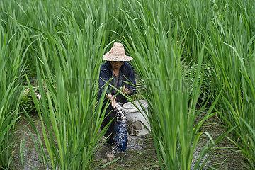 CHINA-ZHEJIANG-Jingning-WILD RICE STEM (CN)