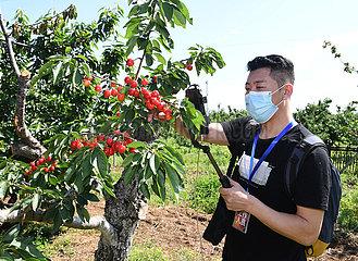 CHINA Beijing-HAIDIAN-Cherry Festival (CN)
