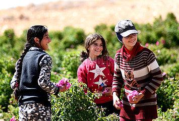 SYRIEN-DAMASKUS-ROSE-ERNTE SYRIEN-DAMASKUS-ROSE-ERNTE