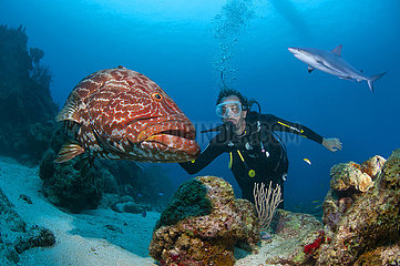 Scuba diver with huge black grouper (Mycteroperca bonaci) and Caribbean reef shark (Carcharhinus perezii) swimming behind.