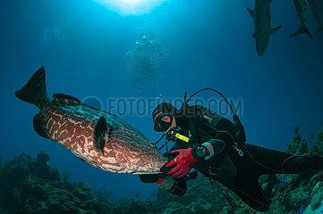Scuba diver petting a big black grouper (Mycteroperca bonaci). Cordelia Bank  Roatan  Islas de la Bahia  Honduras
