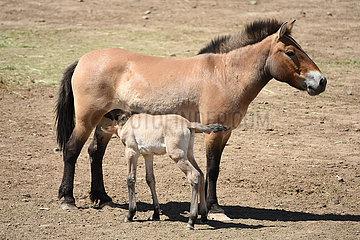 CHINA-XINJIANG-Przewalskipferde-Breeding (CN)