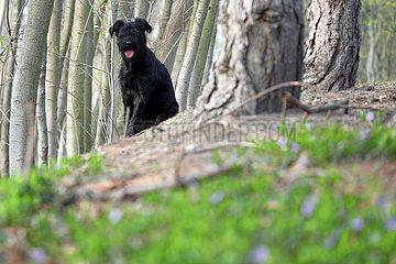 Berlin  Deutschland  Riesenschnauzer sitzt aufmerksam im Wald hinter einem Baum
