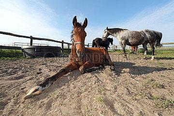 Gestuet Goerlsdorf  Fohlen liegt auf einer Koppel im Sand