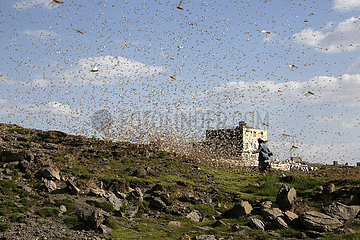 JEMEN-Dhamar-SWARM LOCUST