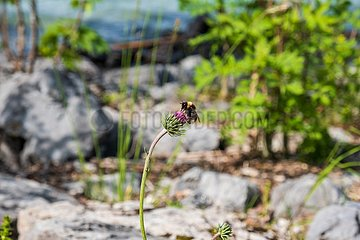 Biene Walchensee Ufer