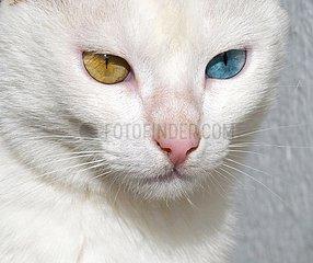 Weisse Katze mit zweifarbigen Augen