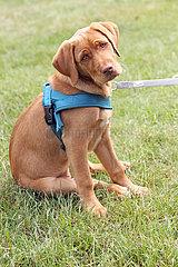 Dresden  Deutschland  Labrador-Retriever-Welpe schaut aufmerksam