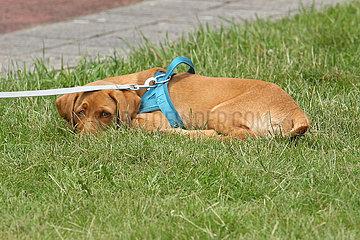 Dresden  Deutschland  Labrador-Retriever-Welpe liegt verschuechtert im Gras