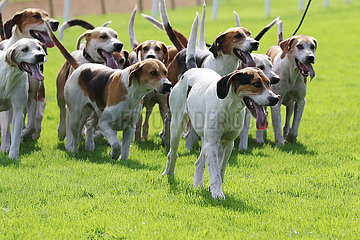 Hannover  Deutschland  Beagles im Rudel