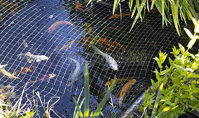 Goldfisch mit Schutzgitter