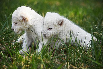 CHINA-SHANDONG-JINAN-ZOO-WHITE LION CUB-GEBURTSTAG (CN)