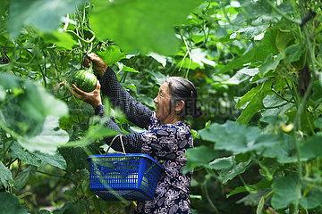 CHINA-CHONGQING-ARMUTSBEKÄMPFUNG-ALPINE Gemüseindustrie (CN) CHINA-CHONGQING-ARMUTSBEKÄMPFUNG-ALPINE Gemüseindustrie (CN)