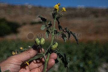 GRIECHENLAND-SANTORINI-Landwirtschaft