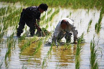 CHINA-XINJIANG-Fuhai-Reispflanz (CN)