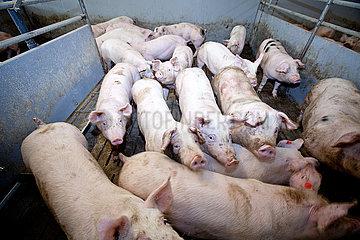 Schweinemast in Niedersachsen  Region Osnabrueck  Muenster  Oldenburg
