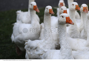 Group of white goose in country farm