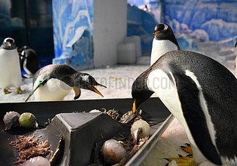 CHINA-HEILONGJIANG-penguin-Drachenbootfest-zongzi (CN)