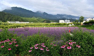 CHINA-SHAANXI-LIUBA-FLOWER FIELD (CN)