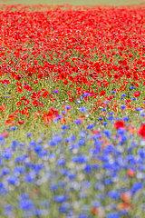 Ruegen  Deutschland - Blumenwiese