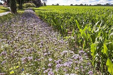 Wildblumenstreifen gegen das Verhungern von Bienen