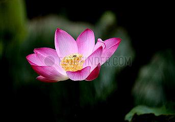 MYANMAR-YANGON-Lotusblumen