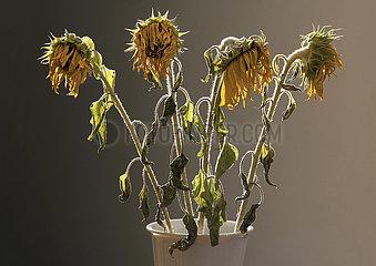 vertrocknete  verbluehte Sonnenblumen