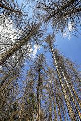 Waldsterben im Kottenforst  Trockenheit und Borkenkaefer schaedigen die Fichtenbaeume im Nadelwald  Bonn  Nordrhein-Westfalen  Deutschland