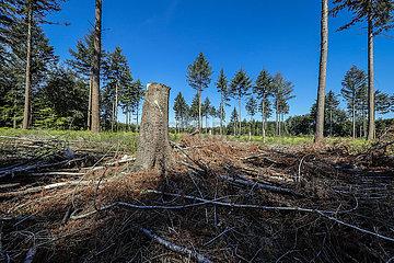 Waldsterben im Kottenforst  Trockenheit und Borkenkaefer schaedigen die Fichtenbaeume im Fichtenwald  Bonn  Nordrhein-Westfalen  Deutschland