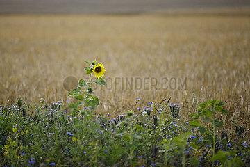 Sonnenblume vor Gerstenfeld