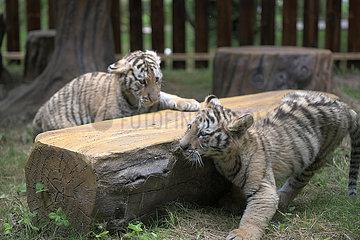 CHINA-HEILONGJIANG-Hailin-sibirischen Tiger CUBS (CN)