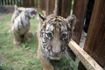 CHINA-HEILONGJIANG-Hailin-Amurtiger-tiger DAY (CN)