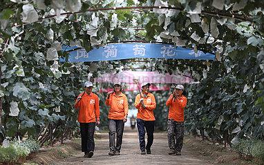 CHINA-LIAONING-ANSHAN-GRAPE INDUSTRY (CN)