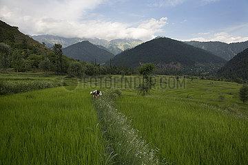KASHMIR-SRINAGAR-PADDY FIELDS