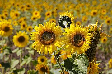 Bienen auf Sonnenblumen Blueten im Sonnenblumenfeld  Juelich  Nordrhein-Westfalen  Deutschland