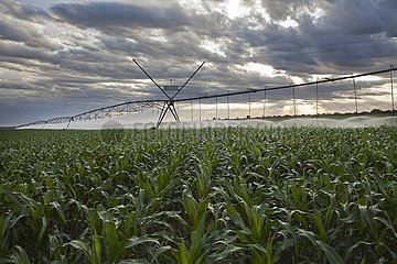 Corn Crops with Irrigation System