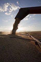 A Combine Unloads Soya Beans into Truck