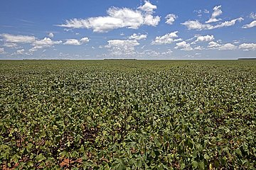 Cotton Plantations at Middle Growing Stage