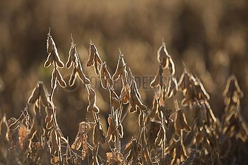 Mature Soybean ready to Harvest