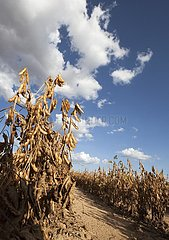 Ready to Harvest Soybean Crop